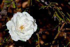 Schöne Weißrose - Rosaceae Rosa Iceberg Floribunda stockfoto