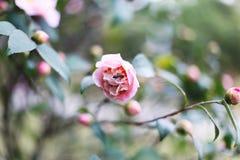 Schöne weiche rosa Blume mit einer Biene, die Blütenstaub produziert Frühlingsparadies Das Sprießen stieg Stockfoto