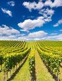 Schöne Weinberglandschaft mit blauem Himmel Stockfotografie