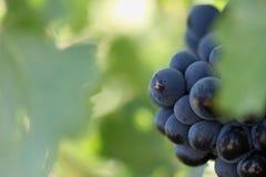 Schöne Weintrauben auf Rebe Stockfotos