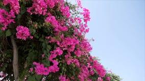 Schöne Wicklungsliane mit rosa Blumen gegen den blauen Himmel bouganvilla stock video