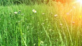 Schöne Wiese mit blühenden Blumen und Kräutern stock video footage