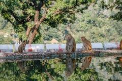Schöne wilde Affefamilie, die nahe dem Wasser auf einem Waldhintergrund sitzt Stockfotografie