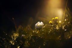 Schöne wilde Blume im Sonnenuntergang Stockfotografie
