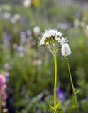 Schöne wilde Blume in Mt Rainier National Park Stockfotografie