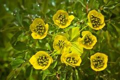Schöne wilde gelbe Gebirgsblumen stockfoto