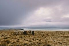 Schöne wilde Pferde bei den schwermütigen Wolken der Küste und einem Sonnenuntergang im Hintergrund Fotografie der Betäubung Isla Lizenzfreies Stockfoto
