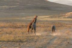 Schöne wilde Pferde, die in Utah sich auseinander setzen stockbilder