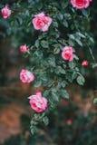 Schöne wilde Rosen in einem sonnigen Garten Stockfotos