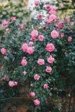 Schöne wilde Rosen in einem sonnigen Garten Stockbilder