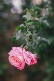 Schöne wilde Rosen in einem sonnigen Garten Lizenzfreies Stockbild