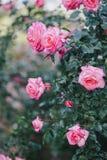 Schöne wilde Rosen in einem sonnigen Garten Lizenzfreie Stockfotos