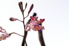 Schöne wilde stehende und blühende Orchideen Lizenzfreie Stockfotos