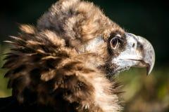Schöne wilde stolze Adlernahaufnahme, hintere Ansicht, Seitenansichtprofil, Lizenzfreie Stockbilder