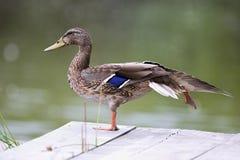 Schöne Wildente steht auf der Bank des Flusses W ducken Sie die Aufstellung in der akrobatischen Position und stehen auf einem Be Stockfotografie