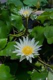 Schöne Wildwasserlilie Stockbild