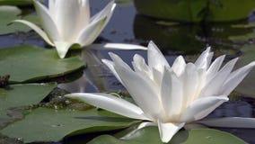 Schöne Wildwasserlilie und tropische Klimata Lilie des weißen Wassers stock footage
