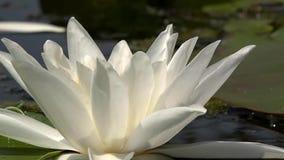 Schöne Wildwasserlilie und tropische Klimata Lilie des weißen Wassers stock video