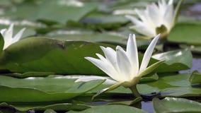 Schöne Wildwasserlilie und tropische Klimata Lilie des weißen Wassers stock video footage
