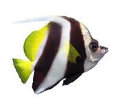Schöne Wimpel coralfish lokalisiert Lizenzfreies Stockfoto