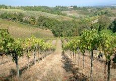 Schöne wineyards auf Hügeln von Toskana Bunte Weinberglandschaft in Italien Weinbergreihen an der sonnigen Landlandschaft lizenzfreies stockbild