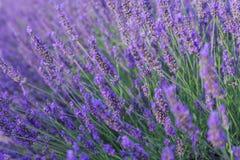 Schöne wohlriechende Lavendelfelder Lizenzfreie Stockfotografie