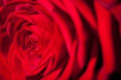 Schöne wohlriechende Rotrose für Liebe Stockfotografie