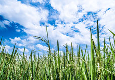 Schöne Wolke des blauen Himmels bewölkt und Paddyjasminreisfeld lizenzfreie stockfotos