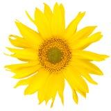Schöne yelow Sonnenblume Stockbild