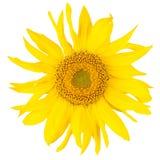Schöne yelow Sonnenblume Stockbilder