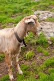 Schöne Ziege in der Schweizer Landschaft stockfotos