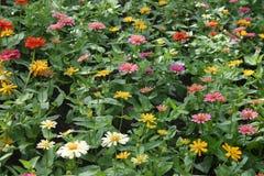 Schöne Zinniablumen, die im Garten blühen lizenzfreie stockbilder