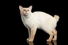 Schöne Zucht ohne der Endstück-Mekong-Bobtail Cat Isolated Black Background Stockfotografie