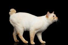 Schöne Zucht ohne der Endstück-Mekong-Bobtail Cat Isolated Black Background Lizenzfreie Stockfotografie