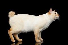 Schöne Zucht ohne der Endstück-Mekong-Bobtail Cat Isolated Black Background Lizenzfreie Stockbilder
