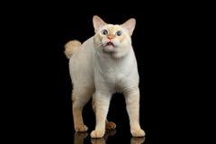 Schöne Zucht ohne der Endstück-Mekong-Bobtail Cat Isolated Black Background Lizenzfreies Stockfoto