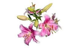 Schöne zwei reife und vier reifende Lilien lokalisiert auf einem weißen Hintergrund mit einem Beschneidungspfad lizenzfreie stockbilder