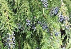 Schöne Zypressenniederlassungen mit Früchten in Irland Stockfotografie