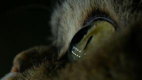 Schönen grünen, gelben Katzenaugen im Supermakro, das auf einem schwarzen Hintergrund blinkt stock video