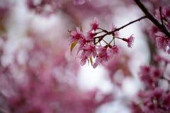 Schönen Thailands Kirschblüte stockbilder
