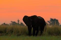 Schöner Abend nach Sonnenuntergang mit Elefanten Afrikanischer Elefant, der in das gelbe und grüne Gras des Wassers geht Großes T Stockfotografie