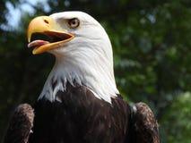 Schöner Abschluss herauf amerikanischen Adler, Weißkopfseeadler, Seeadler leucocephalus, scharfes Auge, Kopf und Porträt, Schnabe stockbilder