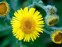 Schöner Abschluss herauf Sonderkommando der kleinen gelben Sonne der wilden Blume Lizenzfreies Stockbild