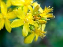 Schöner Abschluss herauf wilde Blumenblätter der gelben Blume Stockbilder