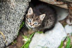 Schöner Abschluss oben der braunen Katze mit blauen Augen stockbilder