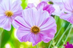 Schöner Abschluss oben der purpurroten Kosmosblume Stockfoto