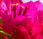 Schöner Abschluss oben einer Bouganvilla-Blume lizenzfreie stockbilder