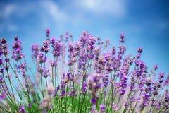 Schöner Abschluss oben eines Feldes des Lavendels blüht mit dem blauen Himmel Stockbild