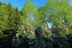 Schöner Abstieg herauf Ansicht von Fliederbüschen und von grünen Bäumen auf Hintergrund des blauen Himmels, herrliche Naturhinter Lizenzfreie Stockbilder