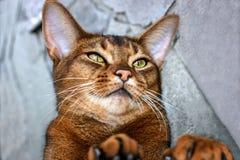 Schöner abyssinischer Katzenabschluß oben Stockfotografie